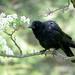 The Raven!