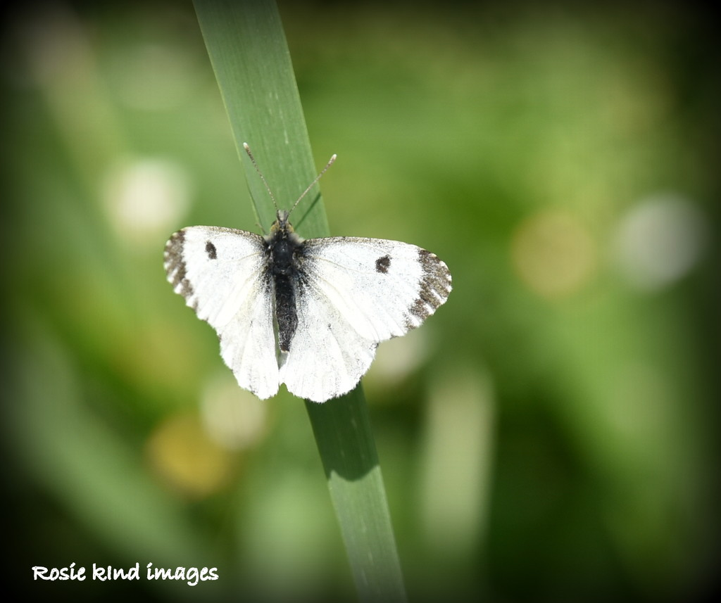 Small white butterfly by rosiekind