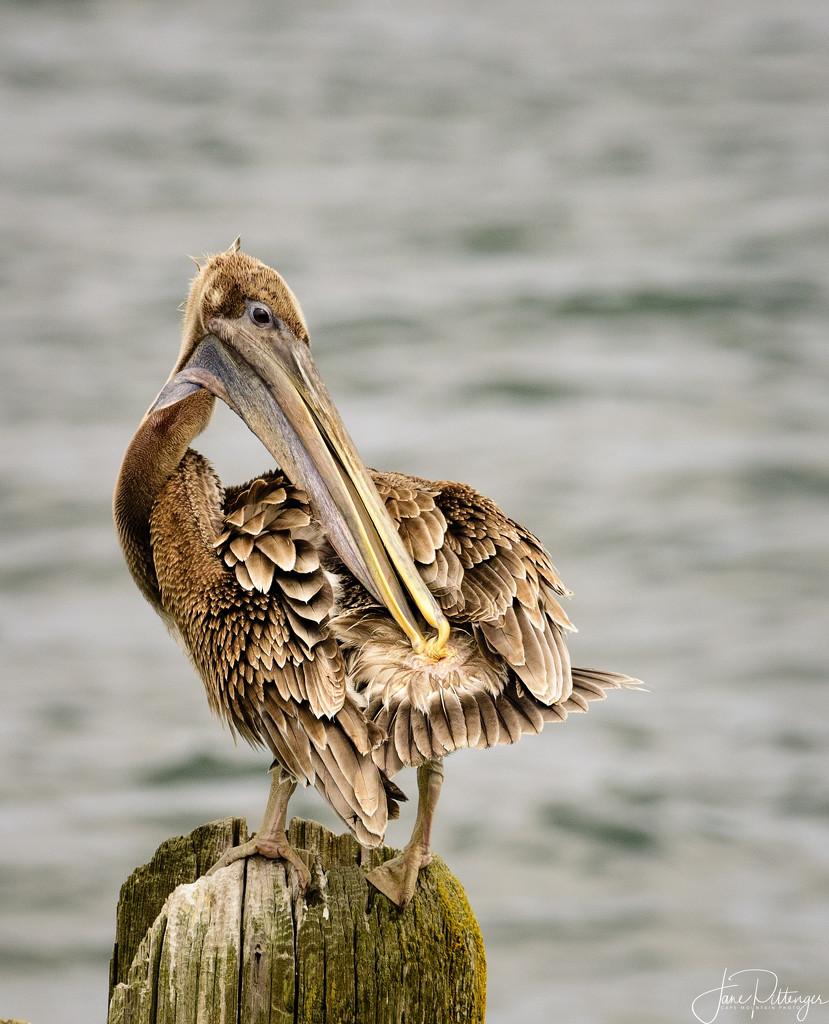 Pelican Grooming  by jgpittenger