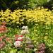 Candelabra Primulas at Wakehurst Place