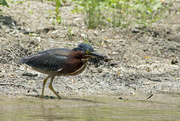 25th May 2018 - Green Heron with Grasshopper