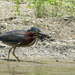 Green Heron with Grasshopper