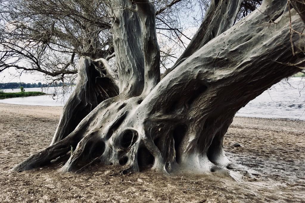 ghost tree am Rhein by vincent24