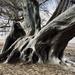 ghost tree am Rhein