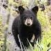 Black Bear Cub #2 by dridsdale