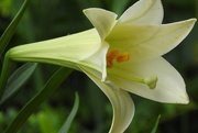 26th May 2018 - Other lily