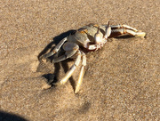 27th May 2018 - strange little crab on the beach