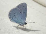 27th May 2018 - The Blue Butterfly and its Shadow