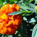 Bright and Sunny Marigold by stownsend