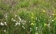 28th May 2018 - Yellow Iris and Common Cottongrass