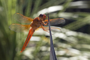 27th May 2018 - Flame Skimmer