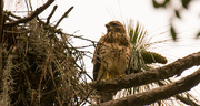 26th May 2018 - Young Hawk at the Nest!