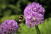 28th May 2018 - Flight of the Bumblebee