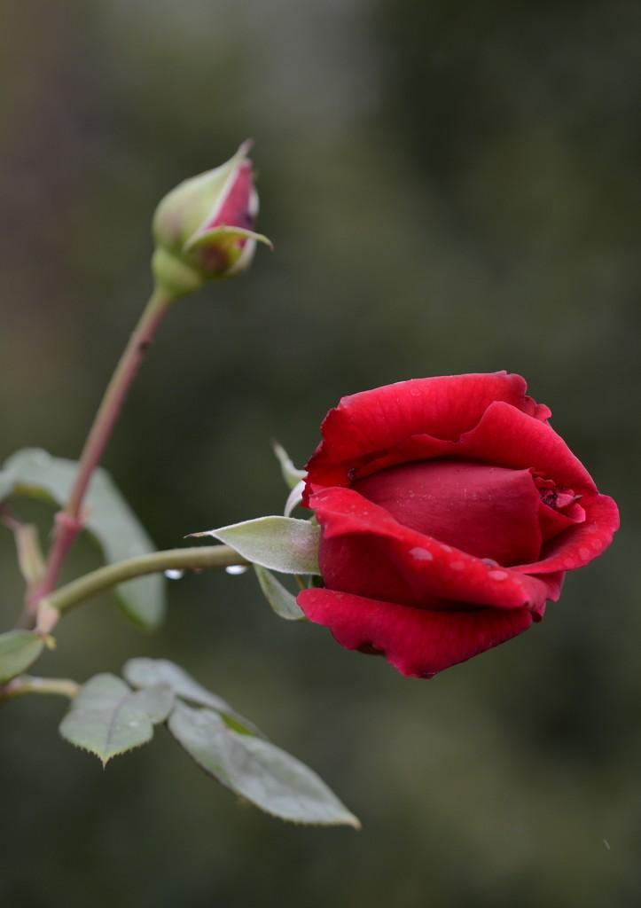 Still Blooming_DSC9985 by merrelyn
