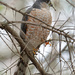 Sharp-shinned Hawk by annepann