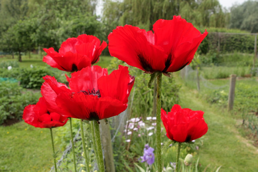 Poppies by busylady