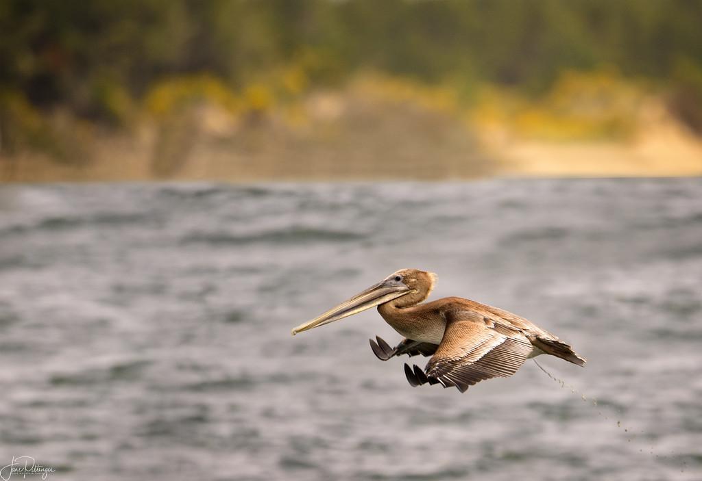 Pelican Pooping in Flight by jgpittenger