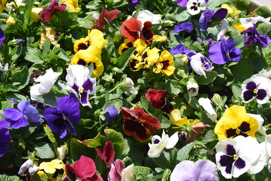 Pansies  by bruni