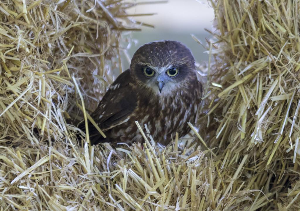 Little Owl by shepherdmanswife