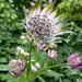 Astrantia... by snowy