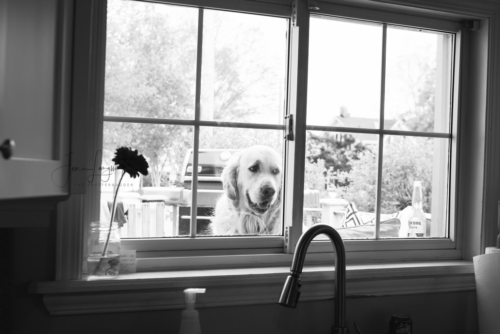 that dog in the window by shutterbugger