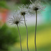 Prairie Locus Dew by pdulis