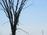 29th May 2018 - Tall tree