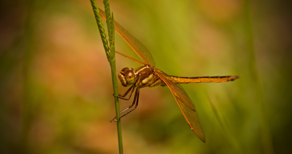 Dragonfly on the Grass Shoot! by rickster549