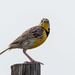 meadowlark stare down