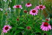 29th May 2018 - Pink coneflower, Hampton Park, Charleston, SC