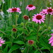 Pink coneflower, Hampton Park, Charleston, SC by congaree