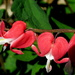 Bleeding heart by bruni