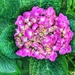 The Hydrangea bud is now a flower by louannwarren