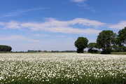 29th May 2018 - More Daisies fields