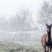 Alpaca's in the mist