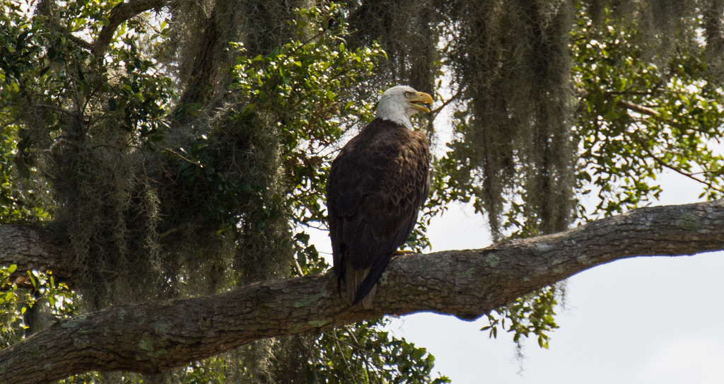 My Eagle Friend Was Back Today! by rickster549