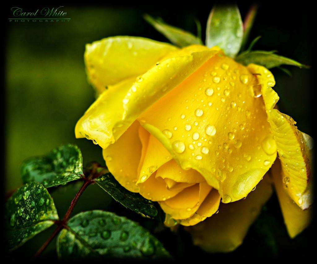 Raindrops On Roses....  (best viewed on black) by carolmw