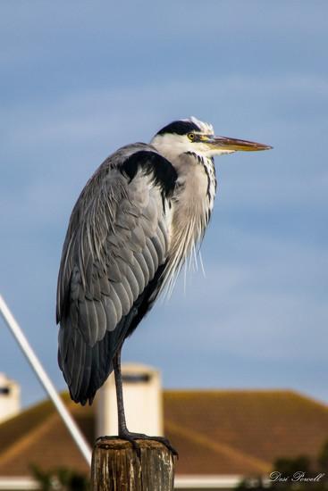 Heron by seacreature