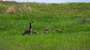 29th May 2018 - Canada geese in Canada