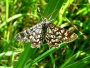 29th May 2018 - Latticed Heath Moth