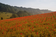 30th May 2018 - Poppies Galore