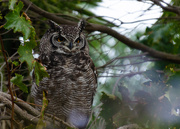 30th May 2018 - Spotted Eagle Owl