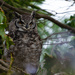 Spotted Eagle Owl by salza