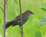 30th May 2018 - Female Red-winged Blackbird