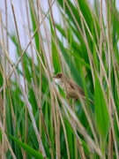 29th May 2018 - Reed Warbler