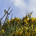 White Crowned Sparrow and Scotch Broom