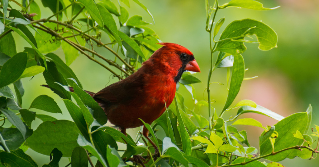 Mr Cardinal Looking for a Snack! by rickster549