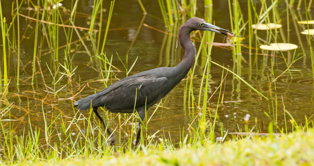 Little Blue Heron has Captured a Snack! by rickster549