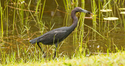 30th May 2018 - Little Blue Heron has Captured a Snack!