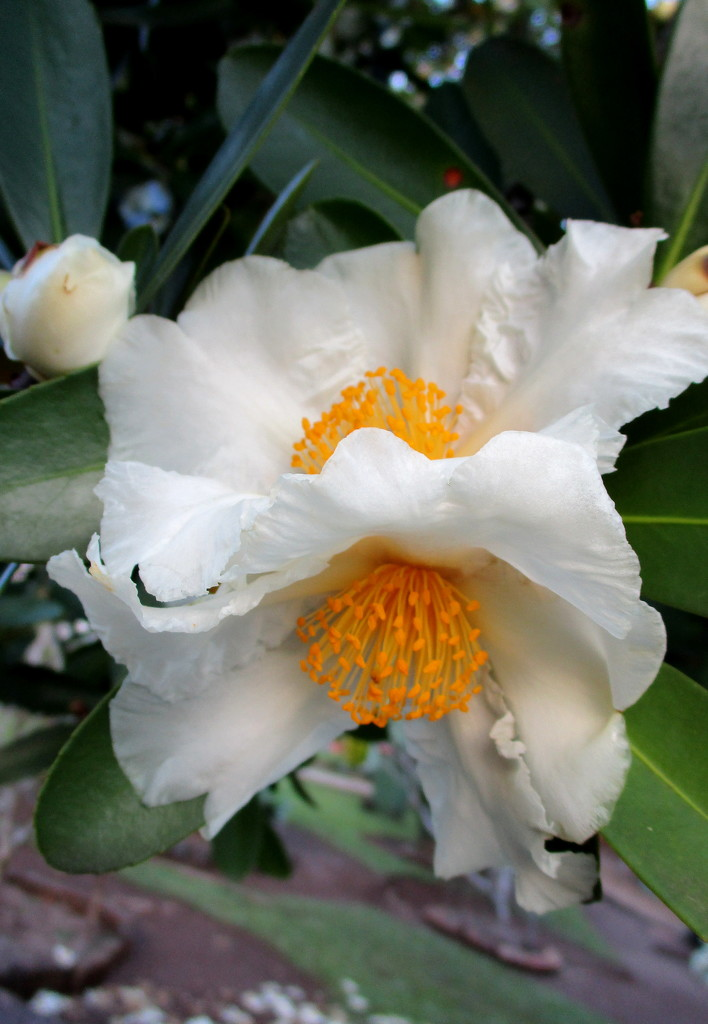 Flowers of the Fried Egg Tree    (Gordonia) by 777margo